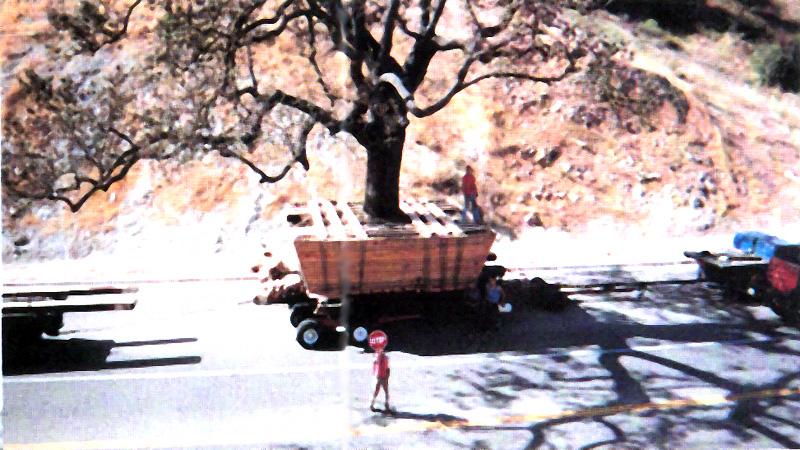 Ten 100 ton plus century-old oak trees moved in Thousand Oaks, CA